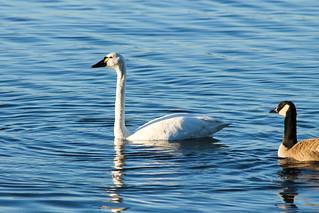 Tundra swans & Canada Goose