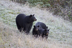 Black Bear With 3 Cubs From This Fall (AlaskaFreezeFrame) Tags: bear cold fall nature animals alaska canon outdoors dangerous woods hiking wildlife trails frosty cubs claws blackbear bruin 70200mm omnivore alaskafreezeframe