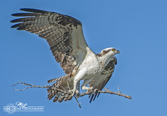 Nest Building Material (mikeyasp) Tags: nature flying wings branches raptor everglades pandionhaliaetus ospreys nestbuilding
