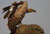 Ruepell's Griffon (Rainbirder) Tags: kenya ngc maasaimara gypsrueppellii rüppellsgriffonvulture rüppellsvulture rainbirder ruepellsgriffon