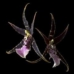 Brassia Oncidium Hybrid Duo (Pixel Fusion) Tags: orchid flower macro nature flora nikon hybrid oncidium brassia d600