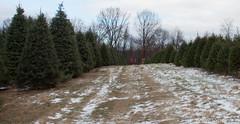 IMG_6289 (Tony Pirrello) Tags: christmas tree farm pa cutting palmers mtbethel