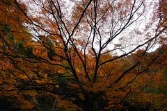 明治の森箕面国定公園 めいじのもりみのおこくていこうえん (ddsnet) Tags: 明治の森箕面国定公園 めいじのもりみのおこくていこうえん sony cybershot rx10 大阪府 おおさかふ osakafu 日本 日本国 にほんこく japan nippon nihon 旅行 travel 自助旅行 backpackers 紅葉 autumnal 植物 plant autumnleaves 秋葉 こうよう もみじ
