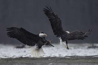 Eagle Fight