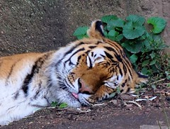 Sleeping Bengal Tiger (Lincoln Park Zoo) (stevelamb007) Tags: sleeping chicago tongue cat zoo illinois nikon tiger predator lincolnparkzoo lincolnpark bengaltiger 18200mm d90 ar1 stevelamb