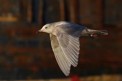 Iceland Gull (Chris B@rlow) Tags: bird birds canon flying gull gulls flight northumberland birdsinflight tyneside tyneandwear northshields icelandgull larusglaucoides fishquay britishbirds northshieldsfishquay ukbirds whitewingedgulls