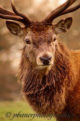 DSC01697 (pbauerphotographics) Tags: red portrait brown colors pose fur stag deer antlers autumnal wwwtattonparkorguk wwwpbauerphotographicscom