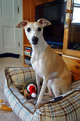 Gotcha Day! (DiamondBonz) Tags: dog pet day hound whippet gotcha spanky