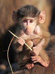 mantelbaviaan Emmen IMG_0698 (j.a.kok) Tags: baboon emmen baviaan mantelbaviaan
