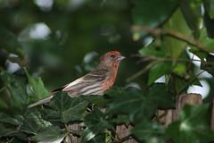 IMG_4764 (californiajbroad) Tags: bird finch