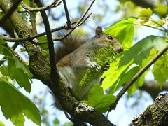 Squirrel (jacquemart) Tags: squirrel nest chick coot cootnest chiswickhouseandgardenslondon enlightenmentinigojonespalladio