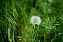 Dandelion (taxaracum officinale) (mkk707) Tags: sony icx413aq ccd sensor weed green bokeh nikond100 cosina voigtlnderultron40mmsliif2asph voigtlnder ultron 40mm