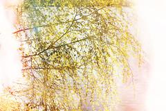 Excessivity (pni) Tags: light sea tree water suomi finland leaf helsinki branch bright multipleexposure birch helsingfors tlnlahti tripleexposure multiexposure skrubu pni tlviken pekkanikrus