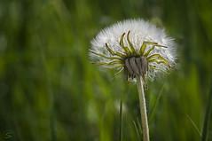 puste--- (sirona27) Tags: wiese mai gelb grn sonne insekten frhling nektar blten lwenzahn pusteblumen