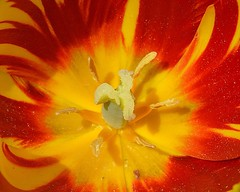 Tulip (rustyruth1959) Tags: light red orange flower macro nature yellow nikon pattern bright yorkshire petal tulip bloom stigma anther nikond3200