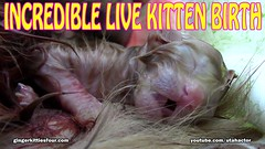 INCEDIBLE Live Birth of Meowing Ginger Kitten (youtube.com/utahactor) Tags: pink pets cute animals closeup cat born ginger amazing kitten feline chat live tabby birth adorable kitty whiskers precious tiny newborn gata paws incredible claws squeaks meowing eyeclosed