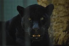 Panther (sz1507) Tags: gatto feline felines nikond60 d60 sguardo nero felino bigcat felini pantera zoologischergarten berlinzoo berlin zoo black panther animali animal animals cat