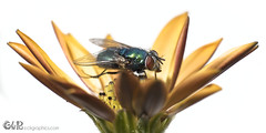 Green Fly on osteospermum (claudy75) Tags: greenfly fly macro insect bugonflower flower flora osteospermum africandaisy capedaisy metallic insectmacro isolated