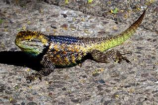 Splendiferous lizard