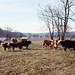 88c082: Cattle near Wyandotte Woods