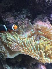 Just keep swimming (cjbenny03) Tags: fish ecology nemo uncw image2 su2016 bio366 uncweteal