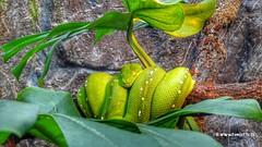 Green+tree+python%2C+Burgers+Zoo%2C+Netherlands+-+2357