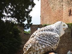 Chteau de Kintzheim - Volerie des Aigles (routedeschateauxdalsace) Tags: alsace rapace kintzheim chteau aigles