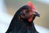 Matilda (Mikey Down Under) Tags: black chicken head australorp