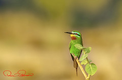 blue cheeked bee eater (TARIQ HAMEED SULEMANI) Tags: travel bird tourism nature birds animal trekking north n bee tariq eater eaters sulemani tariqhameedsulemani