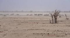 DSC08559-20150925 (C&P_Pics) Tags: birds na zebra namibia ostriches oryx burchellszebra etoshanationalpark oshana commonostrich okaukuejocamptodolemitecampandhobarterelodge