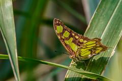 Nicaragua-014 (s4rgon) Tags: butterfly cloudforest dschungel jungle miraflornaturalreserve natur nature nicaragua schmetterling estelí ni