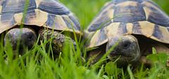 IMG_0276 (Teekanne2) Tags: green nature outdoor turtle natur grn schildkrte drausen