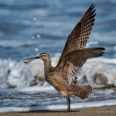 To the Victor......... (craig goettsch) Tags: ocean california bird beach water sand nikon ngc d750 avian sandcrab whimbrel 14extender montereypeninsula 850mm salinasrivernwr