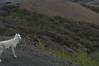 DSC_0653 (David.Sankey) Tags: denali denalinationalpark alaska park parks nationalparks nature wildlife mountains trees dall sheep mammalsofdenali animals ram