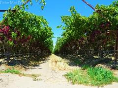 Grape Vines (PickerManBlues) Tags: california ca vineyard farm vine rows valley crop grapes coachella farms crops agriculture grape