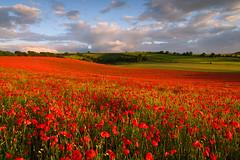 Poppy Hill (Stu Meech) Tags: field landscape nikon stu unitedkingdom outdoor scenic poppy poppies d750 salisbury wiltshire meech leefilters