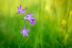 gut getarnt (klaus72) Tags: macro insect flower bokeh sony sonya6000 a6000 platinumheartaward