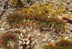 Anemone 3 (Wolfram Burner) Tags: ocean life park ca water bay monterey waves state pacific grove tide salt crab anemone pools burner asilomar hermit wolfram scgis