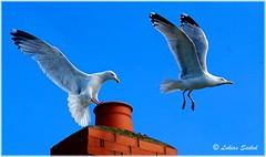 Chimney Chase (lukiassaikul) Tags: wildlifephotography wildanimals wildbirds urbanwildlife birds largebirds gulls seagulls herringgulls sky chimney