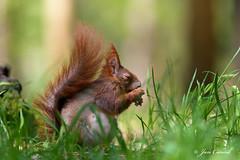 Red Squirrel Spring 2016 (Jan Canck) Tags: trees veverkybest nikon200500f56 wildlife mammals redsquirrel nature veverkybest2016 squirrelspring rodents animals forest d810 squirrel nikon mladboleslav centralbohemiaregion czechrepublic cz