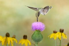 Ruby-throated Hummingbird (2016-07-24 8064) (bechtelsf) Tags: nikon d810 nikon80400mm nature hummingbird bird animal wildlife flower ohio rubythroated outdoors flying inflight