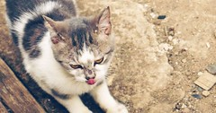 Cat with tongue out. via http://ift.tt/29KELz0 (dozhub) Tags: cat kitty kitten cute funny aww adorable cats