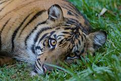 Suka (ToddLahman) Tags: suka eyelock sandiegozoosafaripark safaripark sumatrantiger escondido canon7dmkii canon canon100400 tigers tiger tigertrail tigercub teddy joanne