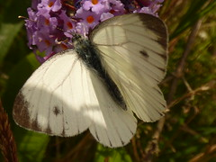 x P2520859c Veined White on Buddleia  . .. .  (NB..CHK.!!!. . .. .) (Erniebobble::) Tags: erniebobble 2016 nature newforest wildlifegarden wildlife balance butterfly lepidotera wings ephemeral edge environment climate delicate feeding colours chrispackham bct fleeting meadow restful reflection tranquil metamorphosis transient transitory painting pattern passage art floating flower garden gentle peaceful portrait resting suspended surface summer hues biodiversity ecosystem weather study stilllife secretworld unseen unsprung glimpse soft subdued muted season springwatch textural symbiosis pollination nectar antennae illuminating imagination inspiring education learning flight alight above harmonious happy smile