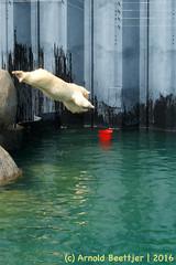 ijsberen_09 (Arnold Beettjer) Tags: wildlands emmen dierenpark dierentuin dierenparkemmen ijsbeer ijsberen polarbear
