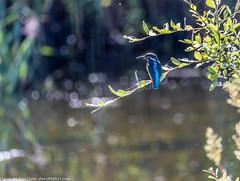 9Q6A6172 (2) (Alinbidford) Tags: alinbidford alancurtis brandonmarsh muteswan dragonfly migranthawkerm hawker greyheron heron heronwithfish heroninflight kingfisher juvenilemoorhen juvenilecoot