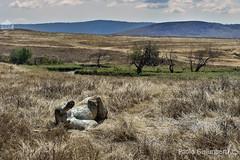 Leone addormentato nella savana, Lion sleeping in its environment, Panthera leo (paolo.gislimberti) Tags: tanzania ngorongoro africanparks parchiafricani africanmammals mammiferiafricani carnivori flesheatinganimals predatori predators bigfive animaliambientati animalsintheirenvironments savana savannah animalbehavior comportamentoanimale wilderness safarifotografico photographicsafari