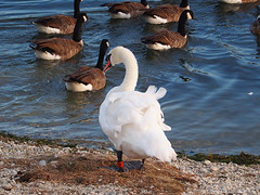 And don't come back! (mark.griffin52) Tags: olympusem5 england hertfordshire tring startopsreservoir wildlife nature bird canadagoose muteswan swan