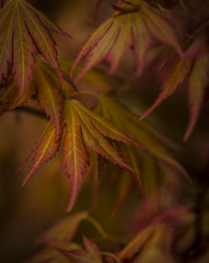Autumn (chris watkins wales) Tags: autumn photography acer tree colour maple