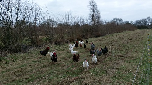 Chickens in the hazel SRC silvoarable system, Wakelyns Agroforestry, UK